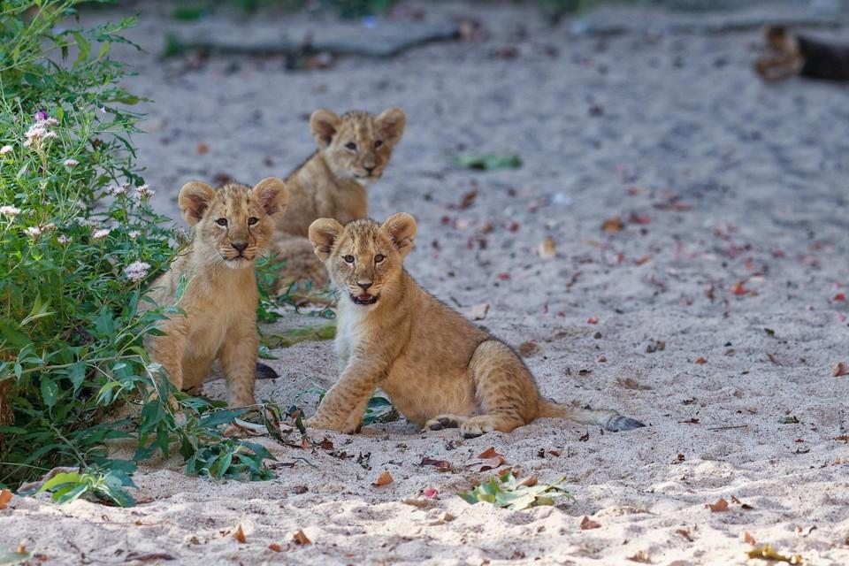 Leeuwenwelpjes Whisker, Waka en Winta op ontdekkingstocht in het Panoramaperk van de Antwerpse Zoo.