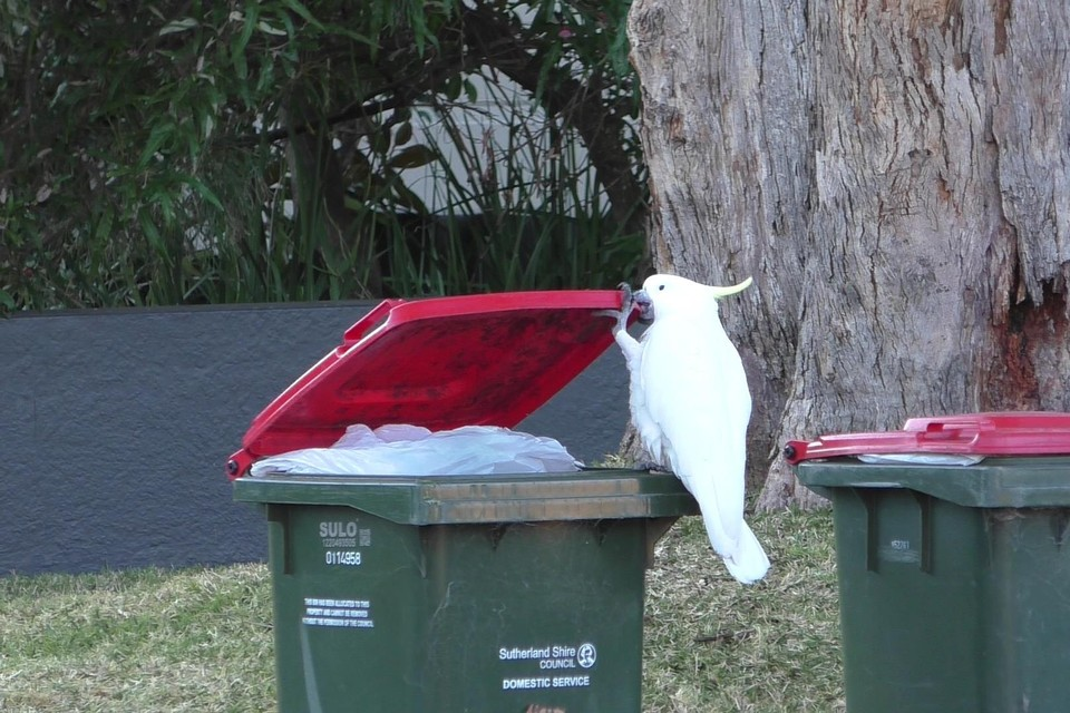 Deze kaketoe gebruikt zijn poot om het deksel van een vuilnisbak omhoog te houden.