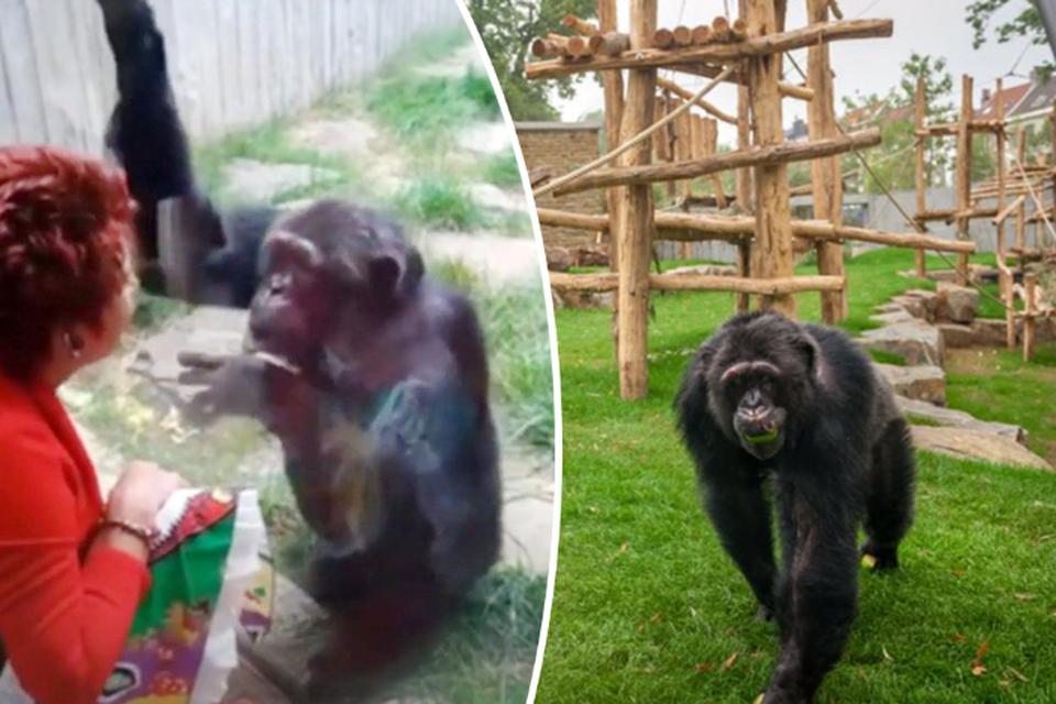 Rechts: chimpansee Chita in 2017