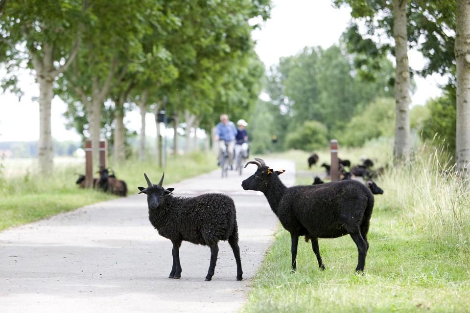 De grazende schapen, die ook op de rijweg mogen lopen in de Braakmanstraat, bewijzen hun nut voor de biodiversiteit.