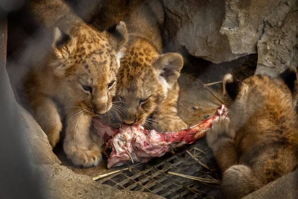 De drieling leeuwenwelpjes doet het goed.