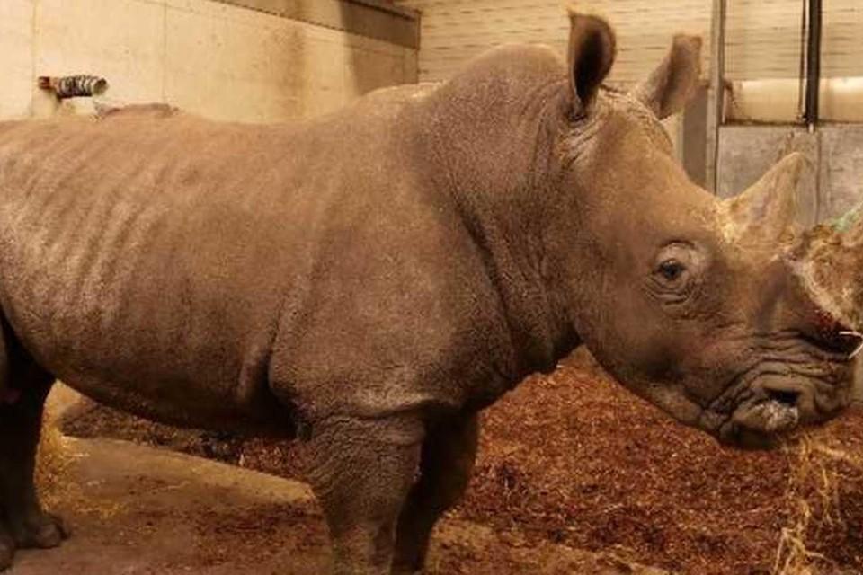 In dierentuin Wildlands in het Nederlandse Emmen is donderdagochtend een neushoorn verdronken