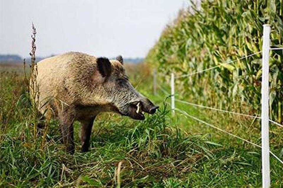 Nu de maïs rijp is, wagen de wilde zwijnen zich vaker buiten een natuurgebied.