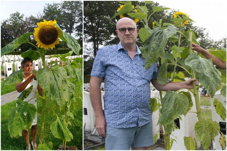 Links: Shashi bij de zonnebloem toen er nog geen vuiltje aan de lucht was. Rechts: Marnix Ghyselinck bij de steel waar de bloem van is afgesneden.
