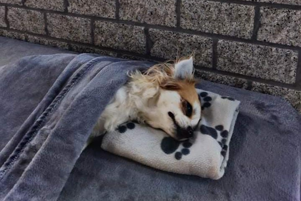 De chihuahua opgebaard in het dierencrematorium.