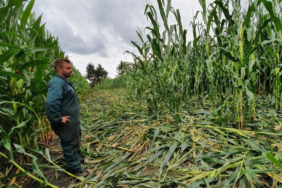 De mais werd door de evers platgelopen en beschadigd, en dit op verschillende plaatsen in het maisvelden.